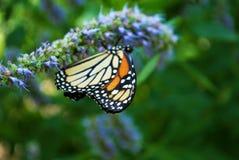 Vue de côté d'un papillon de monarque avec une aile cassée sur une fleur bleue de Veronica image stock