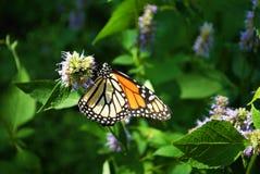 Vue de côté d'un papillon de monarque avec une aile cassée sur une fleur bleue de Veronica photographie stock libre de droits