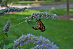 Vue de côté d'un papillon de monarque avec une aile cassée sur une fleur bleue de Veronica photos libres de droits