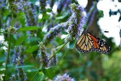 Vue de côté d'un papillon de monarque avec une aile cassée sur une fleur bleue de Veronica image libre de droits