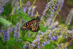 Vue de côté d'un papillon de monarque avec une aile cassée sur une fleur bleue de Veronica photographie stock