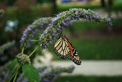 Vue de côté d'un papillon de monarque avec une aile cassée sur une fleur bleue de Veronica photos stock