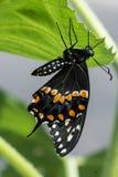 Vue de côté d'un papillon noir de machaon s'accrochant au fond d'une feuille verte image stock