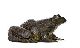 Vue de côté de grenouille mugissante sur le fond blanc Images libres de droits