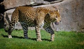 Vue de côté de marche de léopard Photographie stock libre de droits