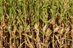 Vue de côté des tiges presque mûres du maïs Images libres de droits