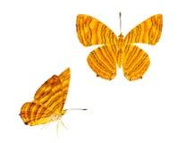 Vue de côté dorsale et d'isolement de risa commun de Chersonesia de maplet Image libre de droits