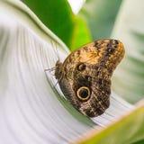 Vue de côté du papillon de hibou se reposant sur une feuille Photographie stock