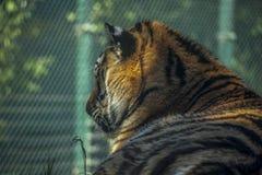 Vue de côté de la tête du tigre images stock