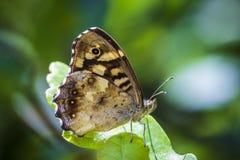 Vue de côté de papillon d'aegeria en bois tacheté de Pararge images stock