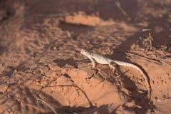 Vue de côté de reptile dans le désert regardant en arrière images libres de droits
