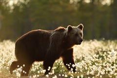 Vue de côté d'ours brun marchant dans le marais Photographie stock libre de droits
