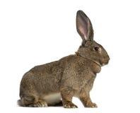 Vue de côté d'un lapin géant flamand photos stock