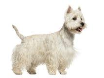 Vue de côté d'une montagne Terrier blanc occidentale haletant, 18 mois Image stock