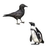 Vue de côté de Carrion Crow, corone de Corvus, gentoo Images stock