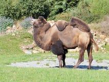 Vue de côté de chameau debout Photos libres de droits