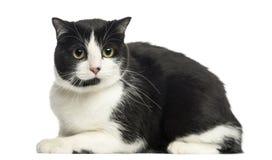 Vue de côté de chat européen se trouvant, regardant l'appareil-photo, d'isolement Photographie stock