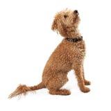 Vue de côté de chien d'or de griffonnage recherchant Photos libres de droits