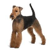 Vue de côté de chien terrier d'Airedale, restant Photographie stock libre de droits