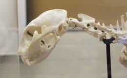 Vue de côté de crâne de chat Image libre de droits