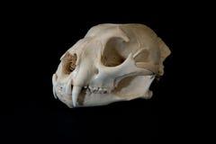Vue de côté de crâne de puma Photographie stock libre de droits