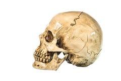 Vue de côté de crâne humain sur le fond blanc Images libres de droits