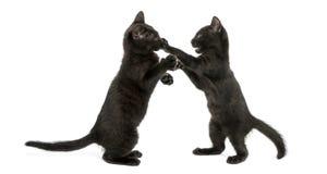 Vue de côté de deux chatons noirs jouant, 2 mois, d'isolement Photos stock