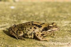 Vue de côté de grenouille images stock