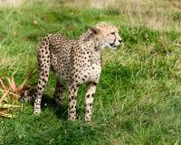 Vue de côté de guépard dans la longue herbe Images stock