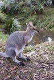 Vue de côté de kangourou Photographie stock libre de droits
