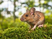 Vue de côté de la tête d'une souris de champ (sylvaticus d'Apodemus) Images stock