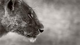 Vue de côté de lion Photo stock