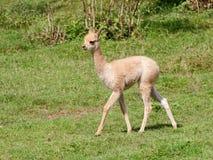 Vue de côté de petit bébé de lama Image stock