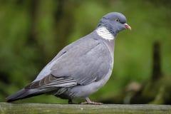 Vue de côté de pigeon Photos libres de droits