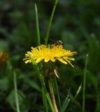Vue de côté de pissenlit et d'abeille Image stock