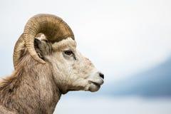 Vue de côté de Ram de mouflons d'Amérique sur le fond gris Image libre de droits