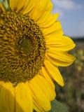Vue de côté de tournesol simple dans un domaine avec la lumière du soleil Image stock