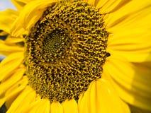 Vue de côté de tournesol simple dans un domaine avec la lumière du soleil Image libre de droits