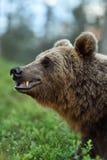 Vue de côté de visage d'ours brun Images stock