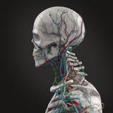 Vue de côté squelettique de porcelaine humaine d'anatomie avec des veines sur le fond foncé Image libre de droits