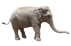 Vue de côté d'éléphant asiatique jouant le fond blanc d'isolement nous Photos libres de droits
