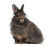Vue de côté de Mini Lop Rabbit Photos libres de droits