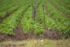 Vue de champ agricole avec la culture de pomme de terre, agriculture biologique photographie stock libre de droits