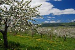 Vue de champ de pommiers à partir du dessus de la colline Images libres de droits