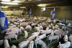 Vue de ci-dessus d'une ferme de porc d'élevage à l'intérieur Photos stock