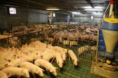 Vue de ci-dessus d'une ferme de porc d'élevage à l'intérieur Photographie stock