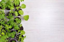 Vue de ci-dessus sur les tasses en plastique avec les jeunes plantes végétales sur le ligh Photo libre de droits