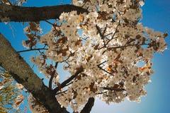 Vue de ciel avec les fleurs de cerisier blanches au printemps à nikko Japon photo stock