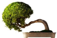 Vue de côté d'arbre de bonsaïs Images stock