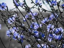 Vue de détail aux fleurs de l'usine de chicorée Photo libre de droits